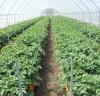 서산시, 부족 씨감자 자체 조직배양 물량 농가보급